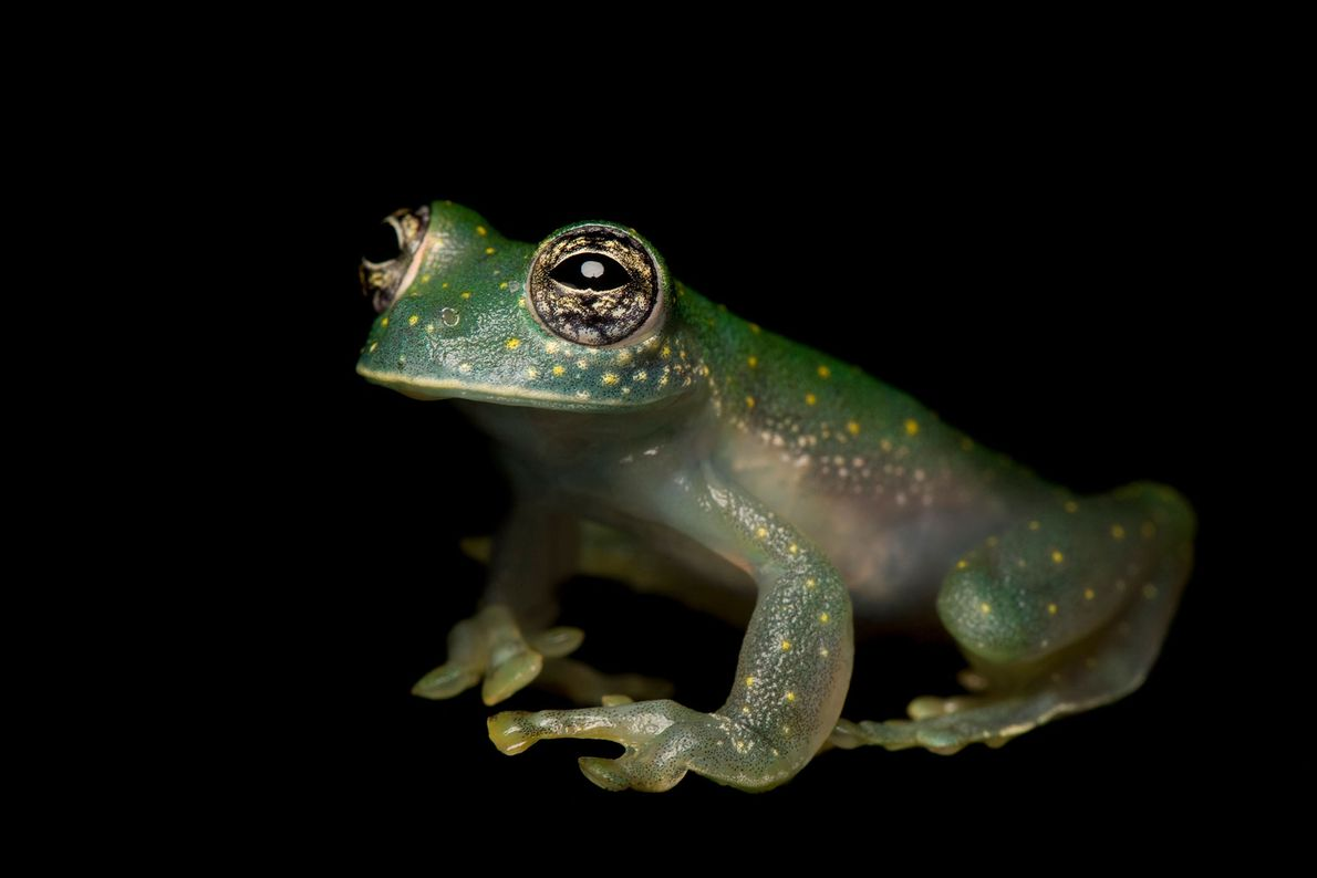 Sachatamia albomaculata