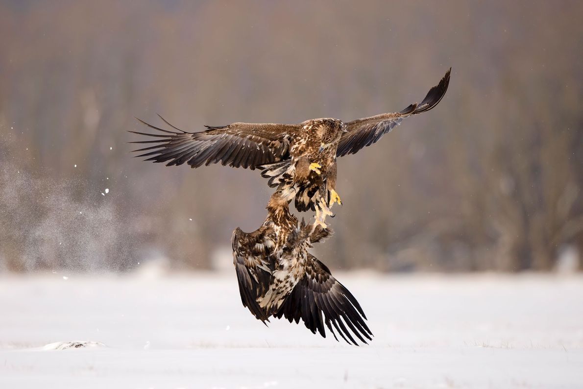 Two white-tailed eagles collide in Poland.