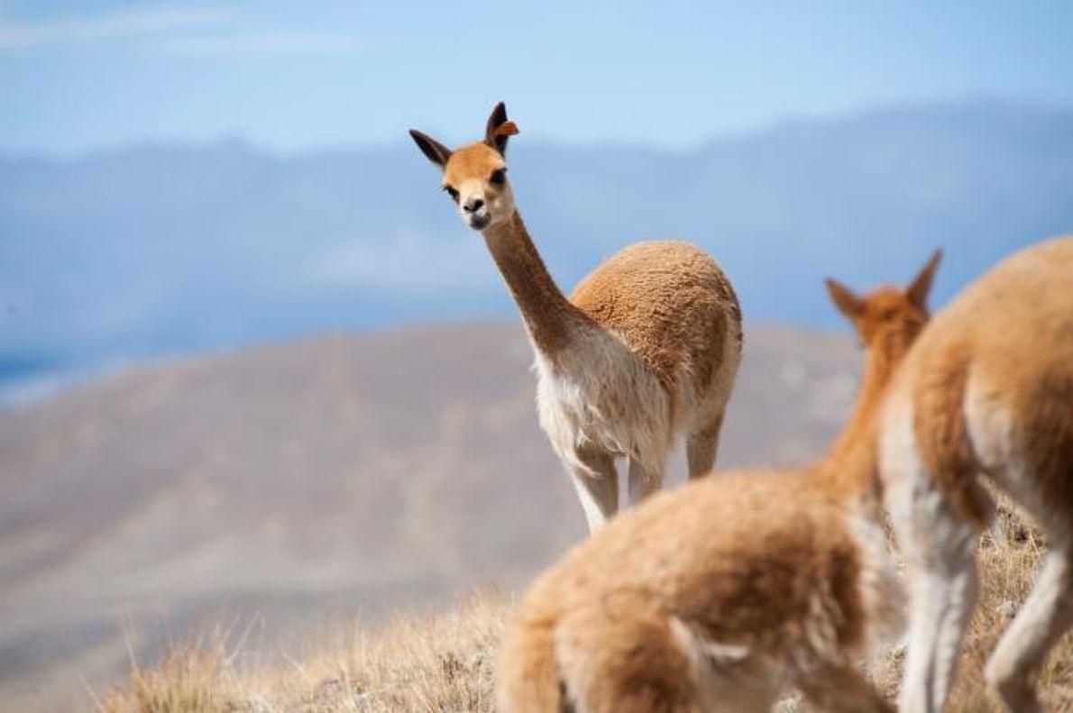Una vicuña salvaje