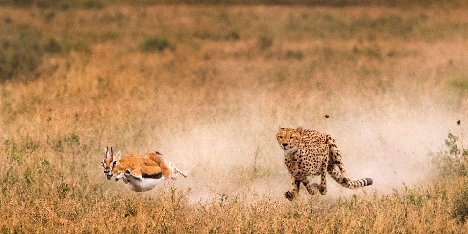 Los guepardos mantienen la cabeza quieta mientras corren: ¿cómo lo hacen?