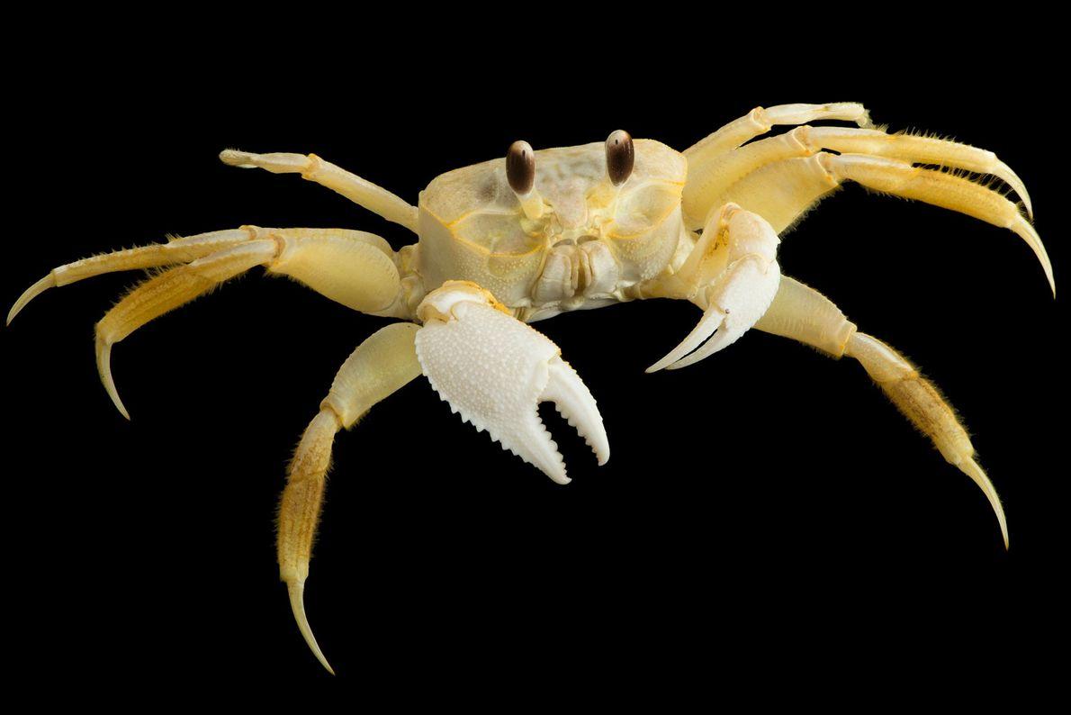 Un cangrejo fantasma