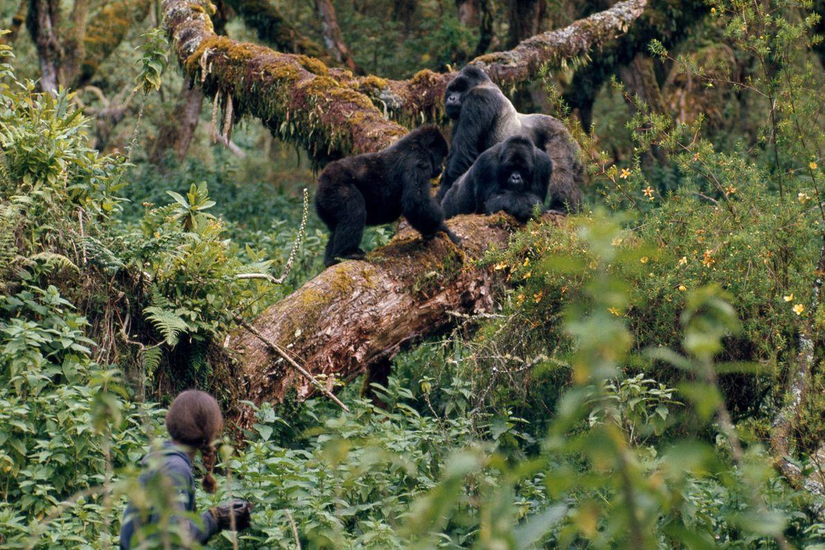 Fossey observa a Rafiki