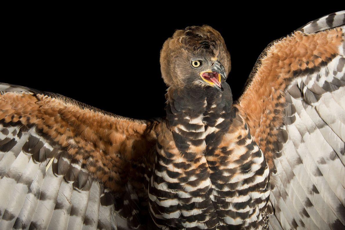 Un águila coronada