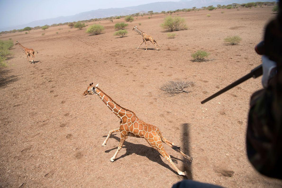 Un investigador dispara un dardo al hombro de la jirafa mientras el helicóptero la sigue desde ...