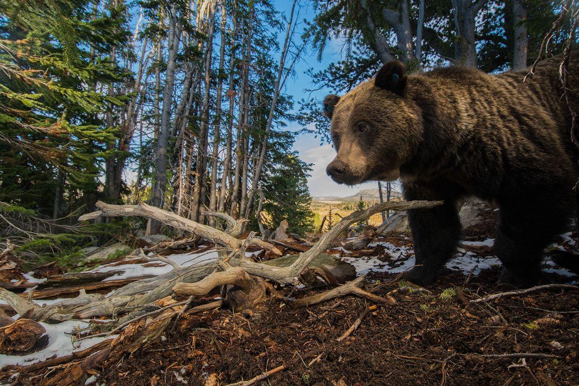 Oso grizzly buscando piñas