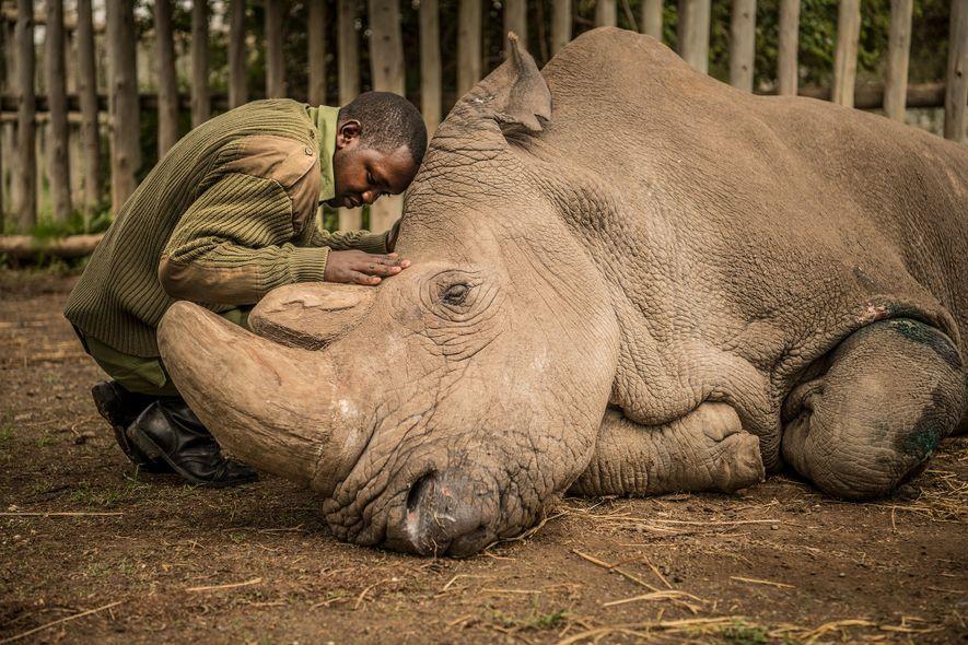 El guardabosques Joseph Wachira, de 26 años, consuela a Sudan, el último rinoceronte blanco del norte …
