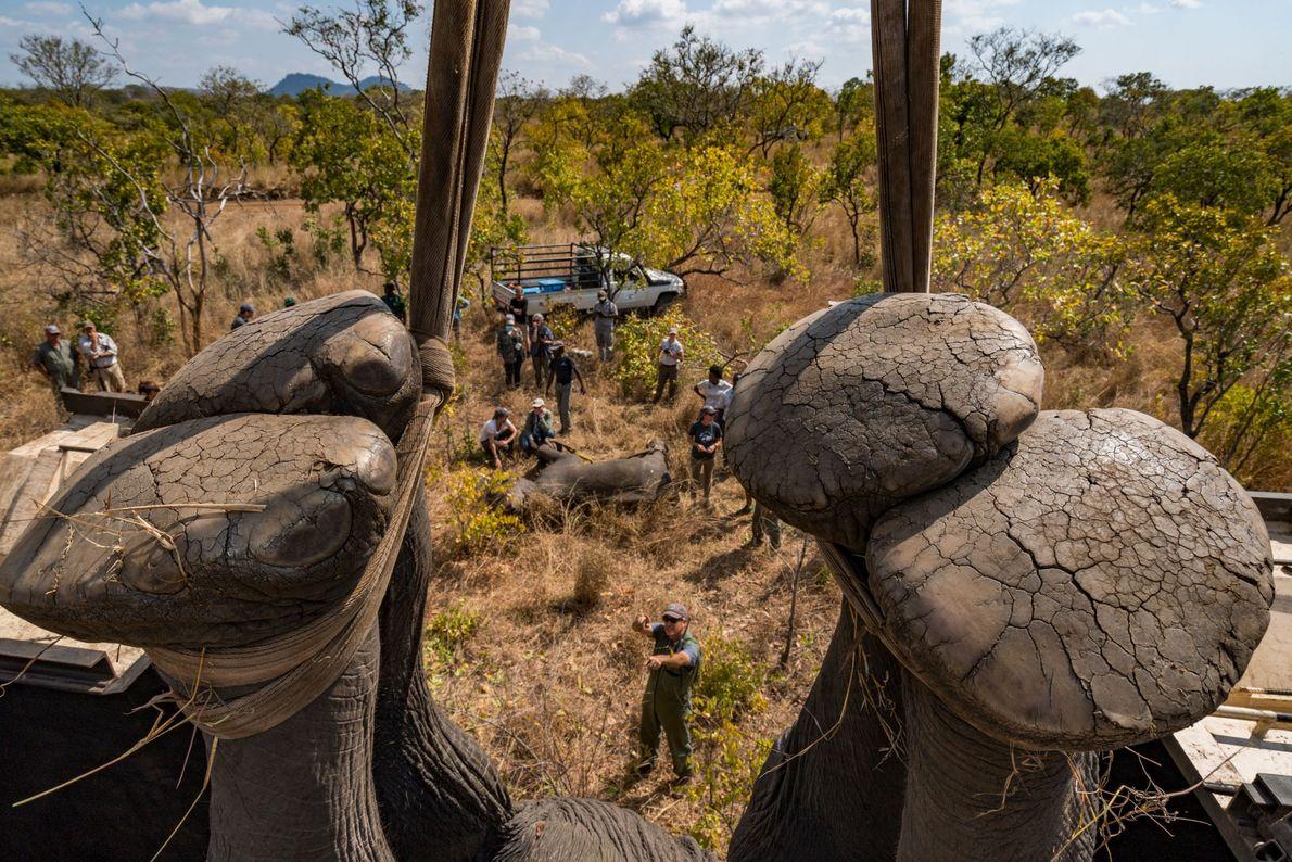 Traslado de elefantes