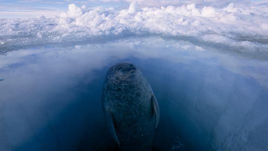 Estos animales polares prosperan en los entornos más fríos del planeta