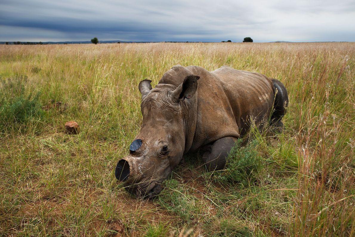 Rinoceronte blanco hembra anestesiado