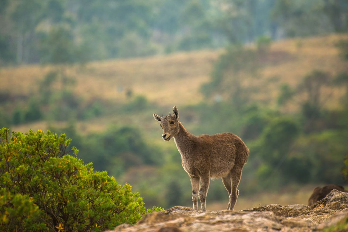The Nilgiri tahr is a hoofed mammal endemic to the sky islands in the Western Ghats.