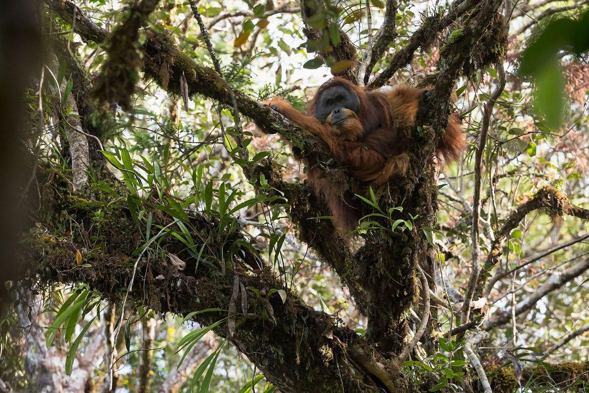 Un macho adulto de orangután de Tapanuli