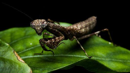 Nuevas especies mantis brasileñas