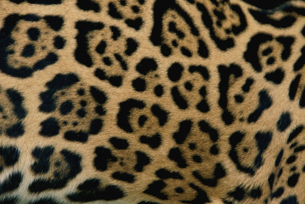 El patrón de las manchas de un jaguar