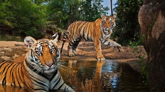 El trabajo de Steve Winter: fotografías para salvar a los tigres