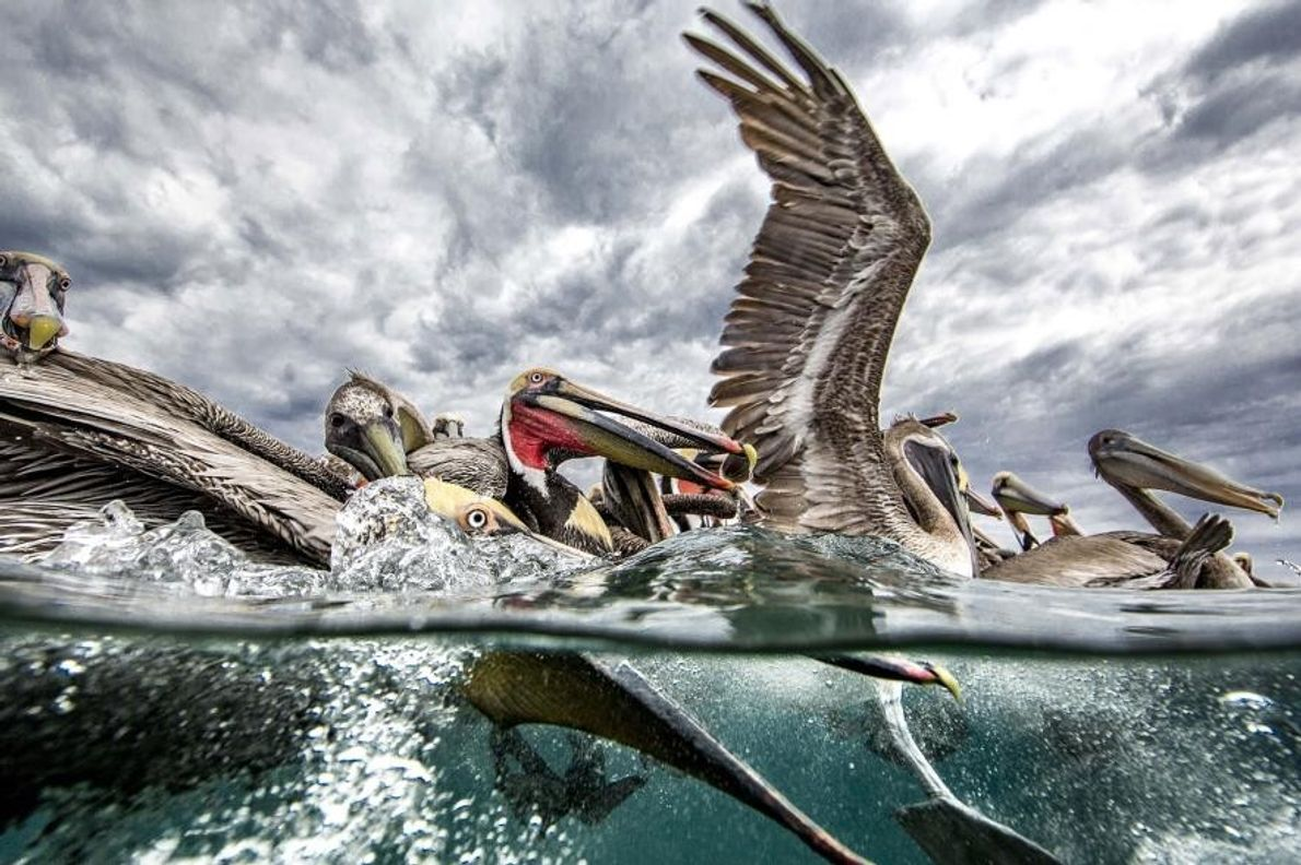 Pelícanos pardos