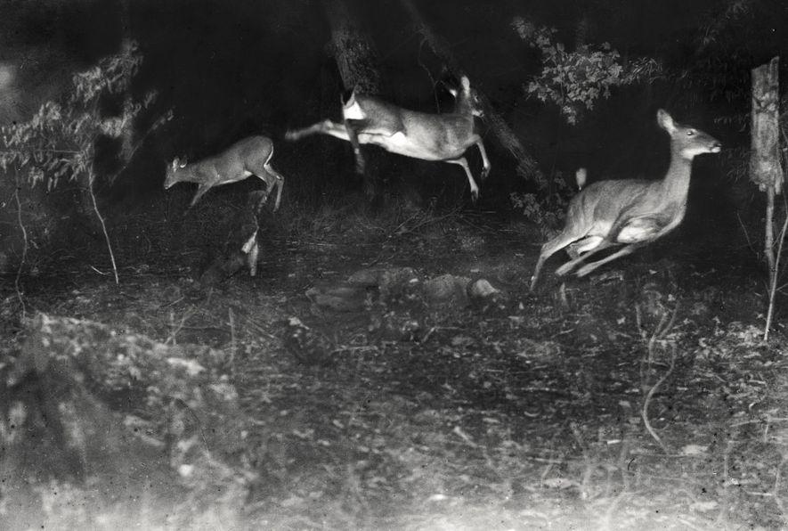 Ciervos fotografiados en pleno salto en una de las primeras imágenes nocturnas sacadas con cámara trampa ...