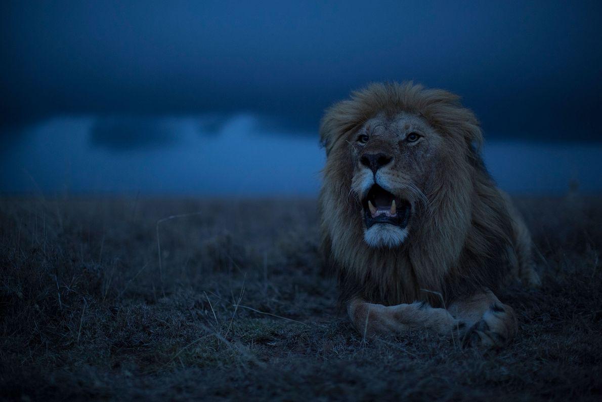 León del Serengueti