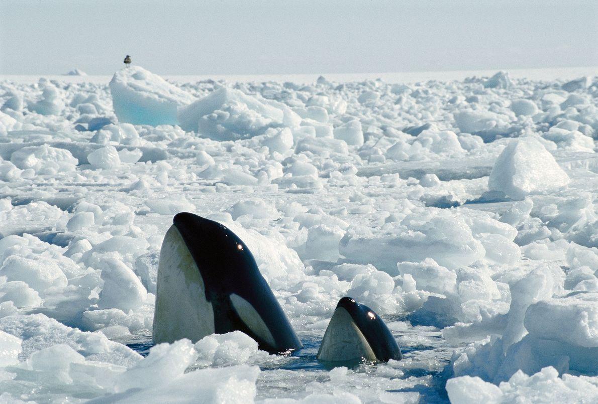 Una madre orca y su cría