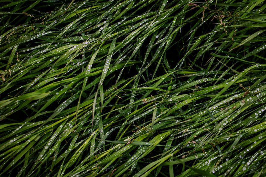 La hierba de la tundra muestra humedad del deshielo cerca de donde el río Kolimá desemboca ...