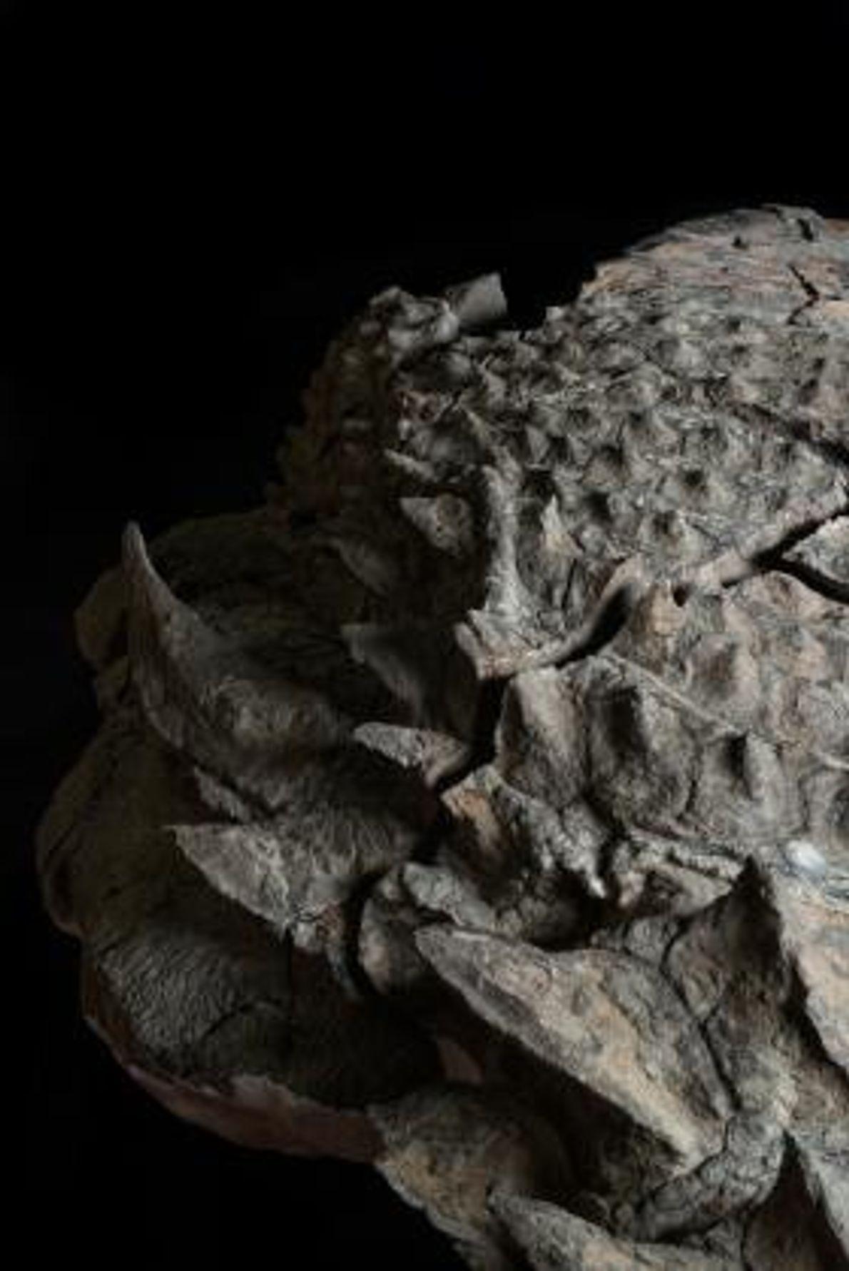 A diferencia de sus parientes más famosos en el grupo de dinosaurios anquilosáuridos, este dinosaurio carecía ...