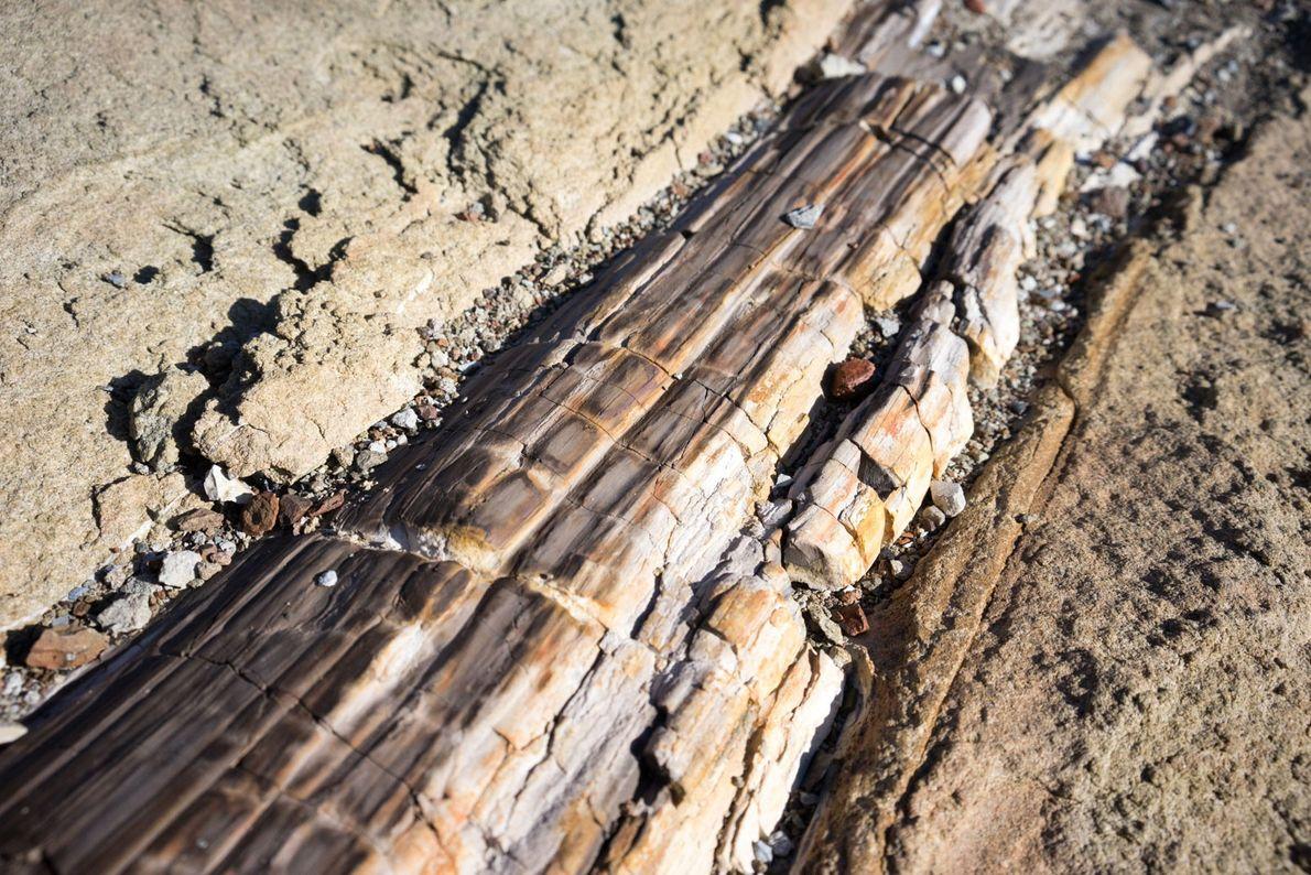 Un tronco caído fosilizado