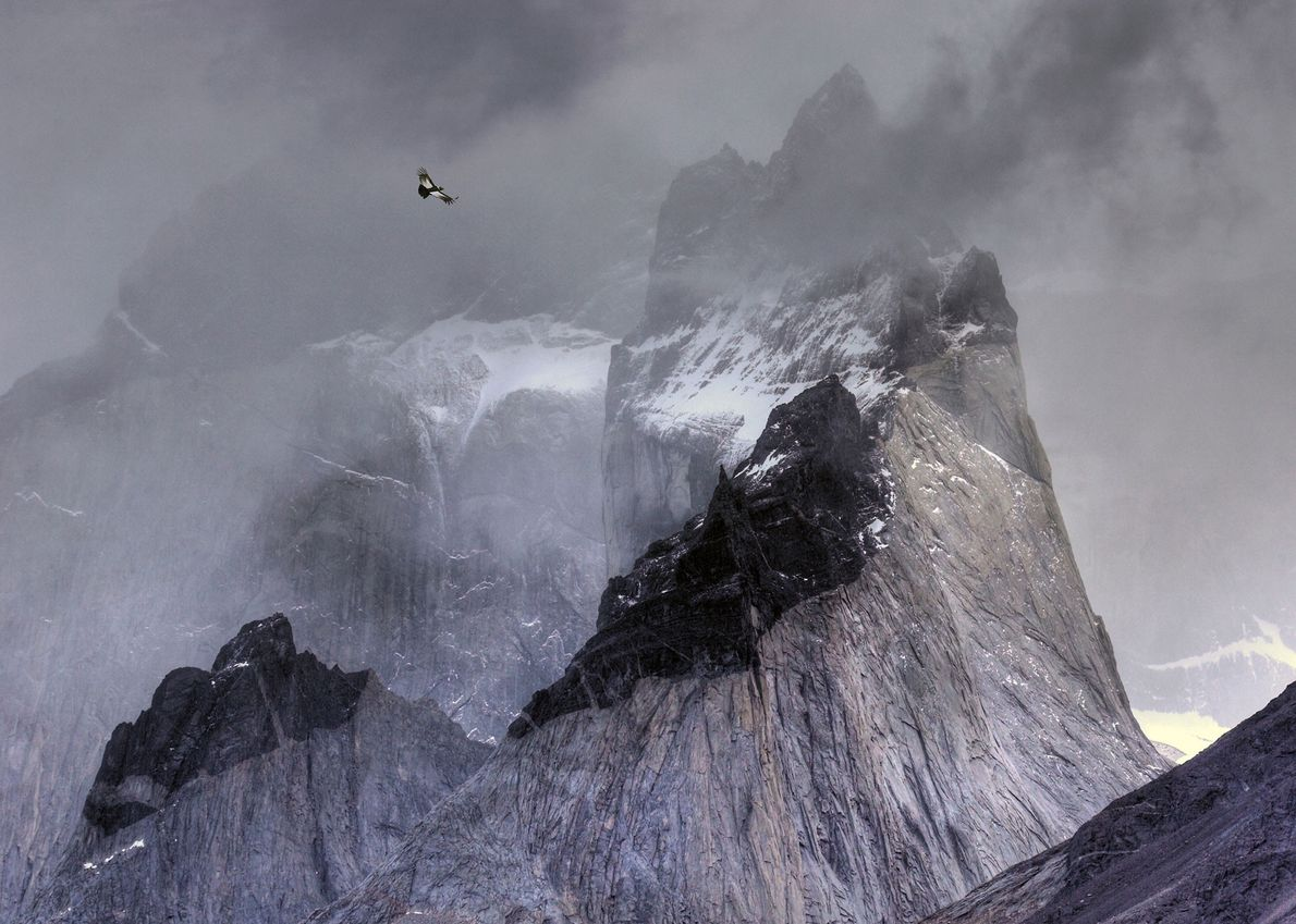 An Andean condor (Vultur gryphus) looks for prey in Torres del Paine National Park, Chile, in ...