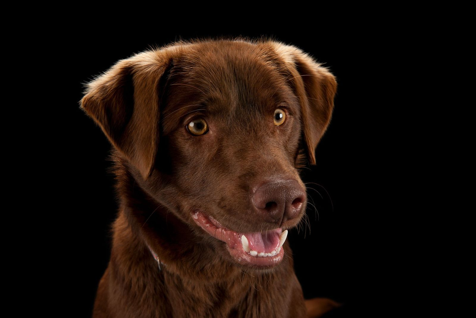 Un labrador retriever color chocolate