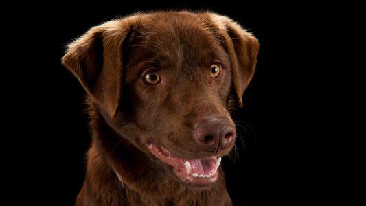 Gracias a este chaleco vibratorio, podrás comunicarte con tu perro sin hablar