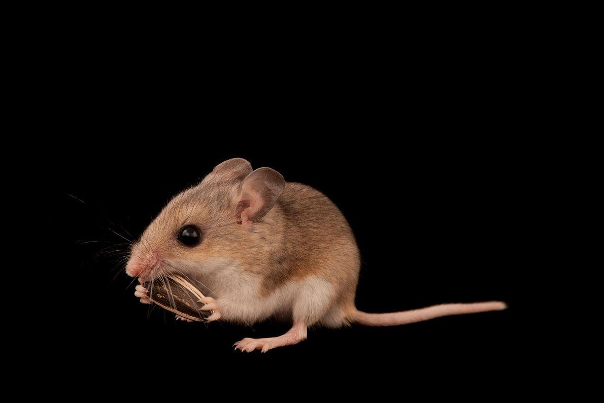 Un ratón Peromyscus polionotus niveiventris