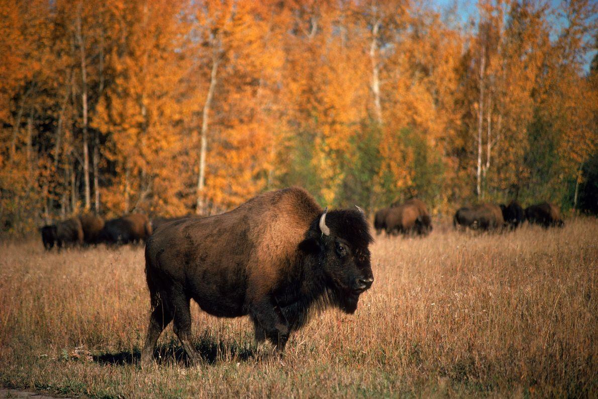 Un bisonte americano de bosque