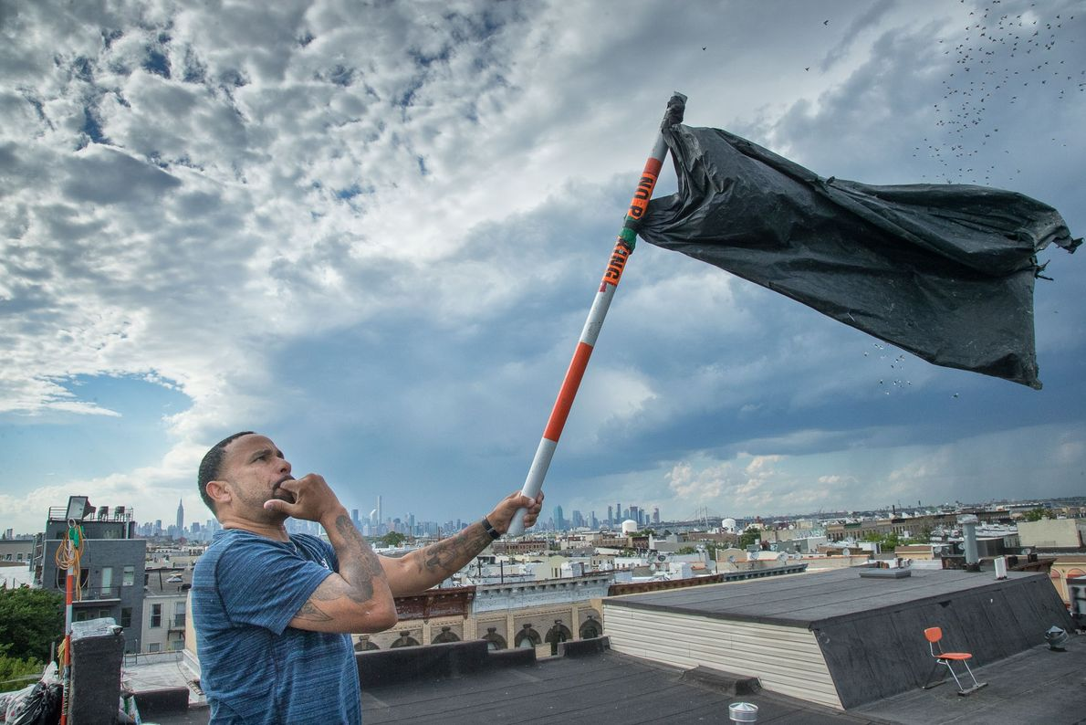 Luis waves a pole and whistles to scare pigeons into flight. Flyers send the birds into ...