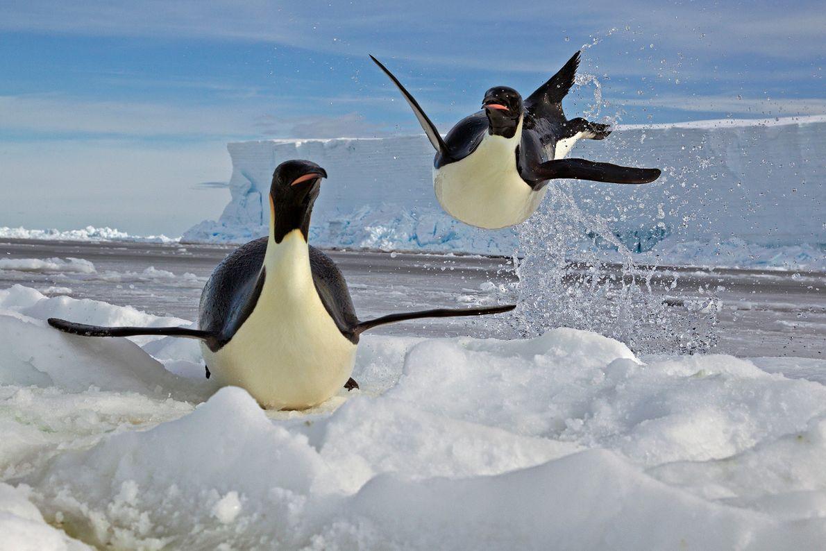 Un pingüino emperador