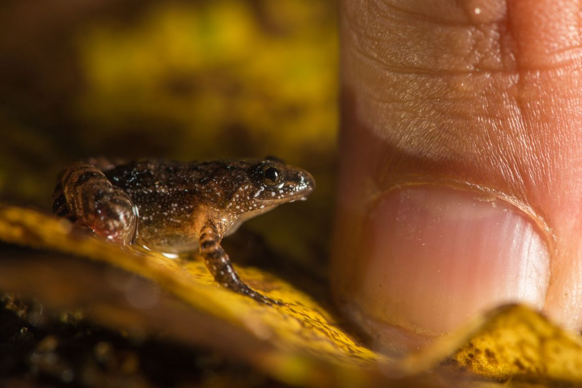 Nyctibatrachus minimus is one of the smallest known frogs of India. Found in the high elevation ...