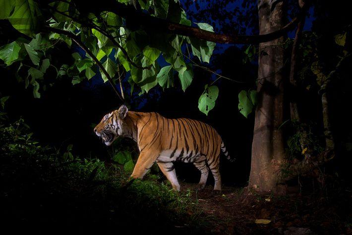 Tigre de Tailandia