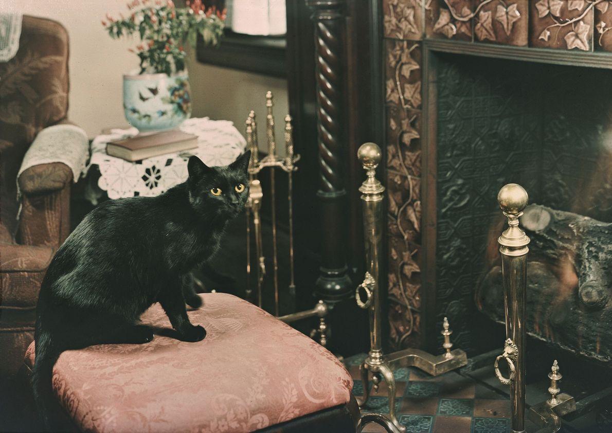 Un gato negro doméstico