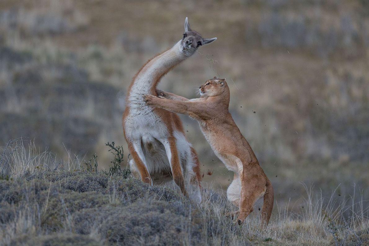 Puma en la Patagonia, Ingo Arndt
