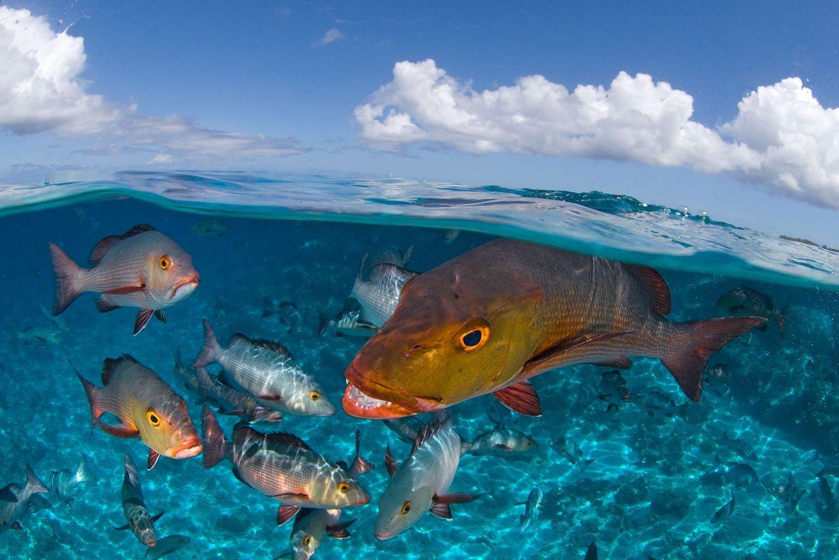 Pargos bajo el agua