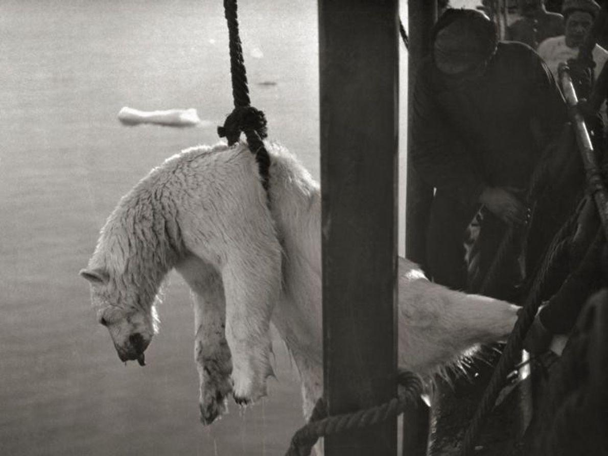 El cadáver de un oso polar