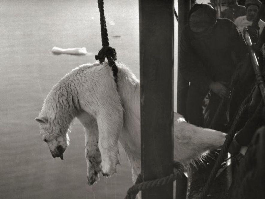 El cadáver de un oso polar subido a bordo del barco de la segunda expedición polar ...