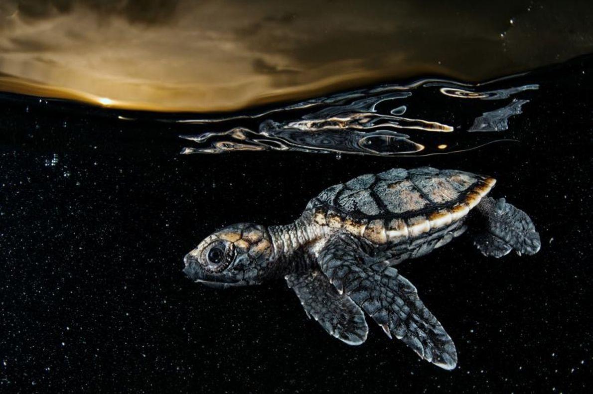 Una cría de tortuga carey