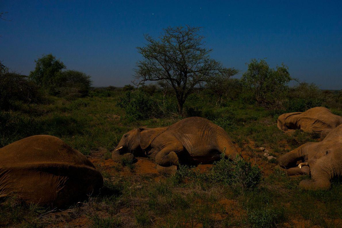 Los elefantes descansan a la luz de la luna