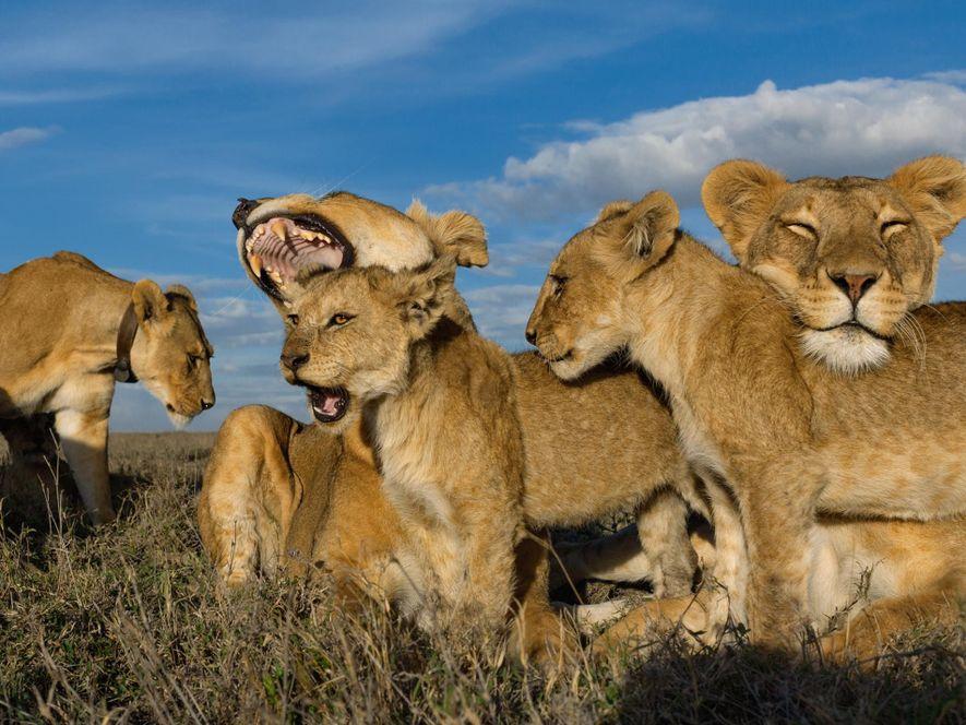 Una Crittercam blindada permitió al fotógrafo de National Geographic Michael Nichols acercarse a esta manada de ...