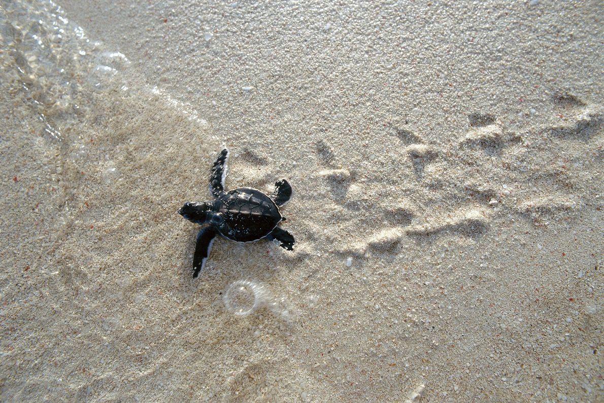 Una cría de tortuga verde