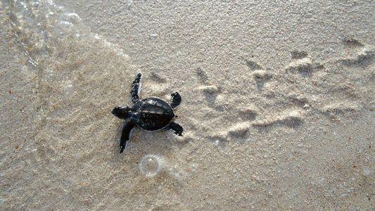 Una tortuga boba desova en Calblanque por primera vez en más de 150 años