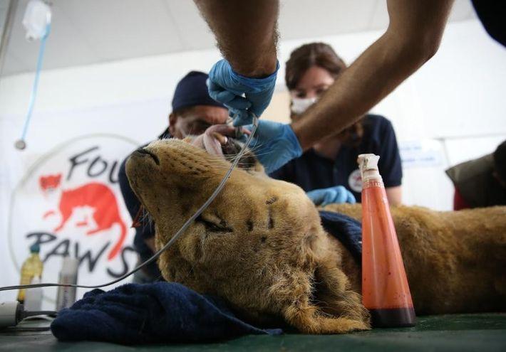 Una leona recibe atención médica en Turquía
