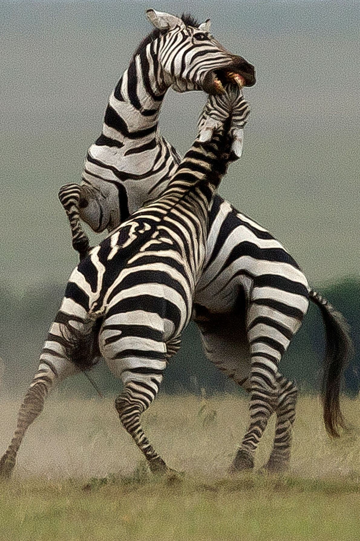 Two zebras charge each other.