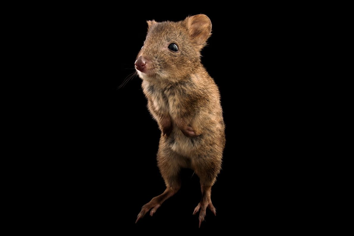 Canguro rata