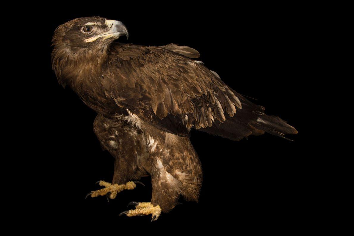 Un águila esteparia