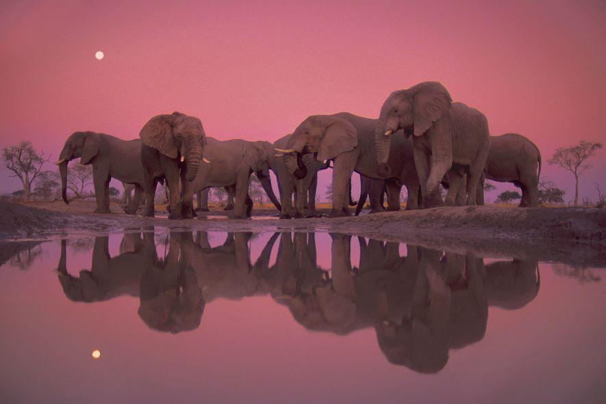 Elefantes africanos junto a un abrevadero en el parque nacional de Chobe, Botsuana, durante el crepúsculo.