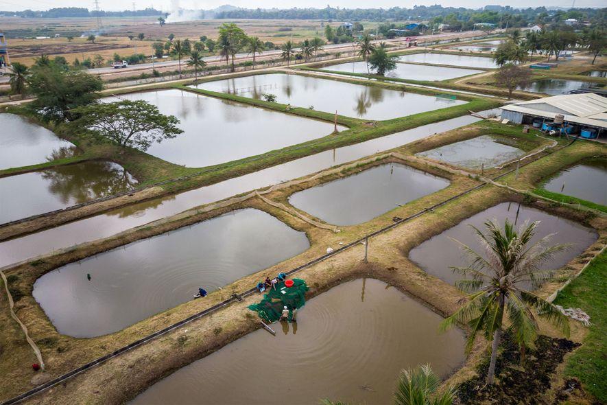 Las carpas gigantes alevines crecen en estos estanques de la estación de campo de Bati. Cuando los peces alcanzan entre 300 y 400 gramos, los etiquetan y liberan en áreas protegidas en las aguas del Mekong o el lago Tonlé Sap-